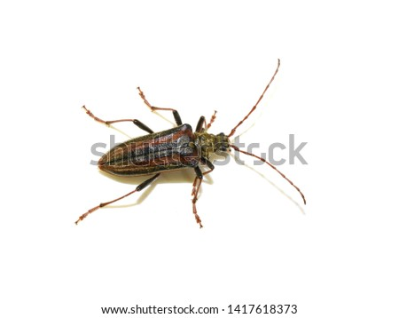 The longhorn beetle Oxymirus cursor female on white background #1417618373