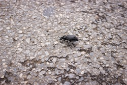 The longhorn black beetle (Cerambycidae; also known as long-horned or longicorns) crawls along the road. Close-up photo