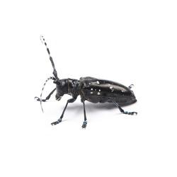 The longicorn beetle isolated on white background