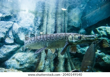 The longnose gar also known as longnose garpike or billy gar. It lives in aquarium in Thailand for study and learn about it. Photo stock ©
