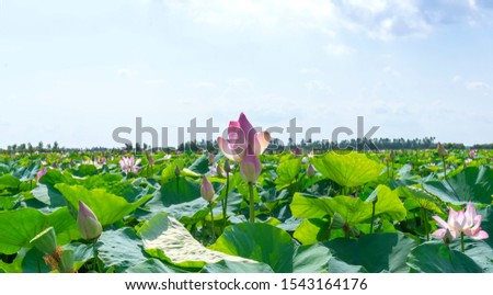 The lotus bloom in the field on a summer morning in the swamp. Flower symbolism of Buddhism #1543164176
