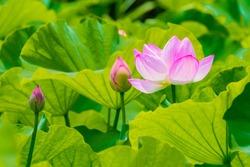 The Lotus Flower and Lotus Flower bud.Background is the lotus leaf and lotus bud.Shooting location is Yokohama, Kanagawa Prefecture Japan.