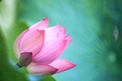 The Lotus flower and Lotus flower plants