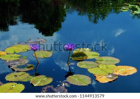 The lotus flower blooms #1144913579