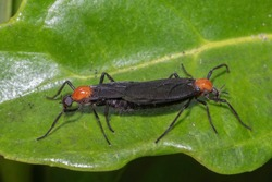 The love bug is a species of march fly found in parts of Central America and the southeastern United States, especially along the Gulf Coast. It is also known as the honeymoon fly or double-headed bug