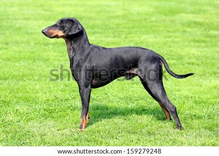 The lovely Manchester Terrier in a garden