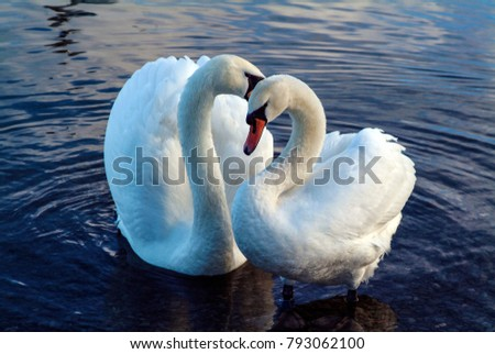 The loving courtship of swans which mate for life. Heartfelt, romantic, affectionate and caring image which would make a beautiful poster or print for home or office décor.