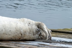 The lower portion of a large bearded adult seal lying on a wooden slipway near the ocean.  The bearded seal has a light grey coloured wet fur coat with long white curly whiskers.