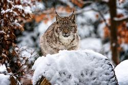 The lynx (Lynx lynx) is the only wild feline in Finland