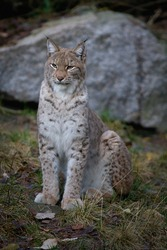The lynx sits like a domestic cat.