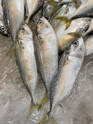 The mackerel is soaked in a block of ice to avoid spoilage.