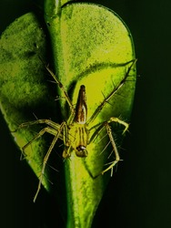 The macro image of a Jumping Spider (Mopsus mormon) on a green leaf with the dark background