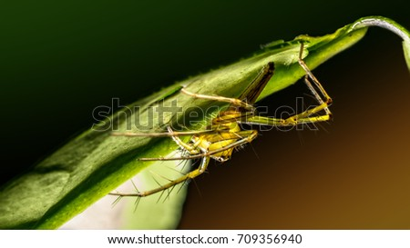 The macro image of a Jumping Spider (Mopsus mormon) on a green leaf with the glowing green and orange  background #709356940