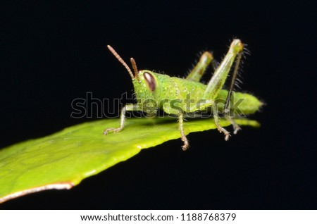 The macro picture of grasshopper on the leave.