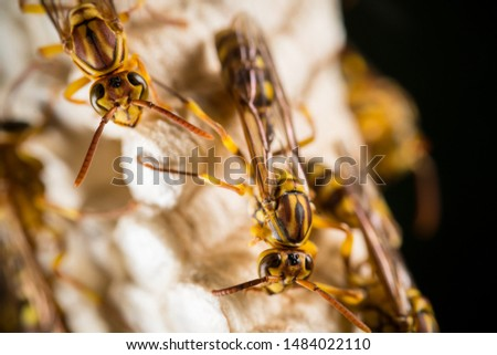the macro shot of Parapolyvia varia, a kind of wasp. #1484022110