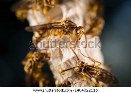 the macro shot of Parapolyvia varia, a kind of wasp. #1484022116