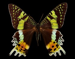 The Madagascan sunset moth Macro specimen, Flying insect, side