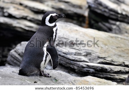 The Magellanic Penguin, Spheniscus magellanicus, is a South American penguin, breeding in coastal Argentina, Chile and the Falkland Islands, with some migrating to Brazil.