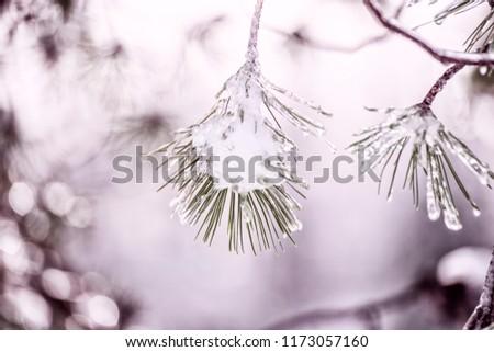 The magic branches of the pine are snow-covered and covered with ice. Winter is a beautiful day. Frosty mood.  #1173057160