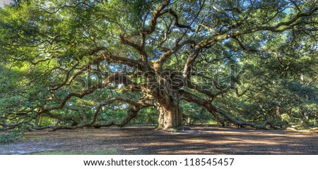 The Magical Angel Oak Tree in Charleston South Carolina