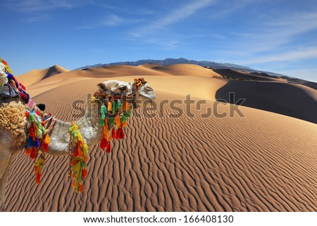 The magnificent Arabian camel in the desert sand. Dromedary decorated with picturesque harness and bright red blanket