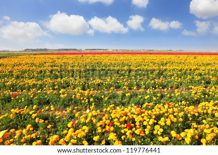 The magnificent garden buttercups. Boundless kibbutz field under yellow flowers.