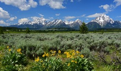 the magnificent peaks mount moran and the grand teton range with  pretty yellow sunflowers in a field of sage brush in grand teton national park, wyoming