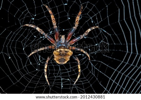 The magnificent spider Poltis illepidus in its gorgeous web at night in the dark is illuminated by rays of light close-up  Foto stock ©
