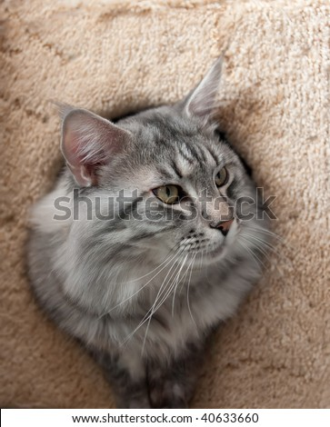 maine coon cat. stock photo : The maine coon
