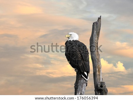 The Majestic Bald Eagle perched on a tree at sunset