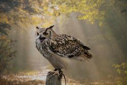 The majestic Indian Eagle owl poses on a stand