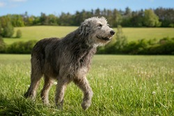 The majestic Irish Wolfhound without the collar walks peacefully across the meadow with proudly erected head.