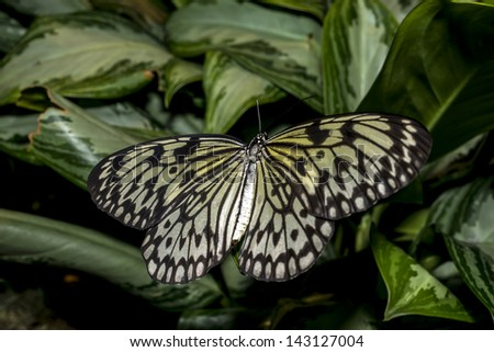 The Malabar Tree-nymph or Malabar Tree Nymph (Idea malabarica) is a large butterfly found in peninsular India