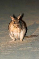 The Malagasy giant rat (Hypogeomys antimena), also known as the votsota or votsovotsa, in Kirindy Mitea National Park, Madagascar