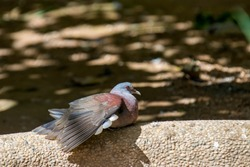 The Malagasy turtle dove (Nesoenas picturatus) bask in the sun.  It is a bird species in the pigeon and dove family, Columbidae.