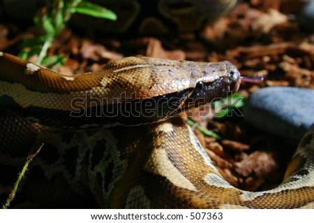 The Malaysian Blood Python