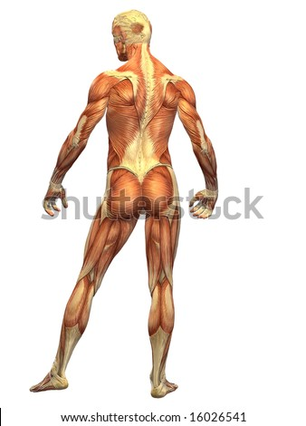 The male anatomy as it appears under the skin showing the mapping of muscle in the human body.