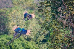 The male and the female peacock are flying up to the tree in nature