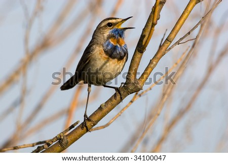 The male Bluethroat perching on a branch of the tree and sings a spring love song.