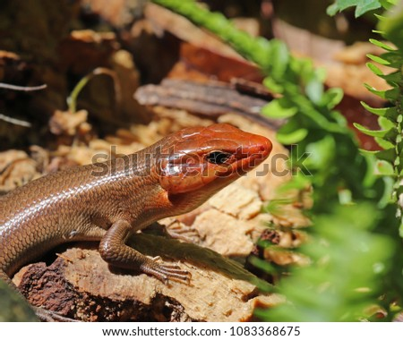 The male Broad headed skink (Plestiodon laticeps)has wide powerful jaws and his head turns bright orange during the short mating season in the Spring.