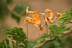The male Dead Leaf Mantis is cryptic and more gracile than the robust female and has to very careful during courtship to avaoid becoming her next meal!