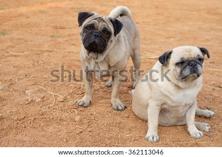 The male fawn pug dog standing behind female fawn pug dog on the ground.
