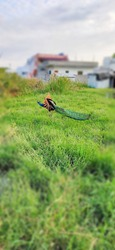 The male Indian peacock flying in the farm