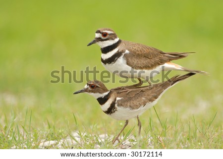 The male killdeer is seen perched on top of the female killdeer in order to appear as one large bird. The behavior is seldom witnessed and even more rarely photographed.
