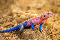 The male Mwanza flat-headed rock agama (Agama mwanzae) or the Spider-Man agama, because of its coloration, is a lizard in the family Agamidae, found in Tanzania, Rwanda, and Kenya.
