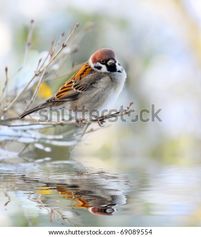 The male of a House Sparrow ( Passer domesticus ) on a twig over a spring flood.