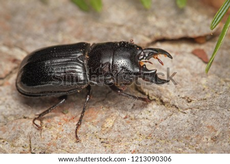 The male of a rare stag beetle Ceruchus chrysomelinus, a criticaly endangered beetle occurring in European virgin and old growth forests.