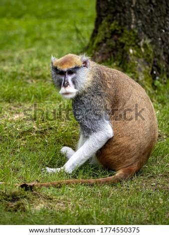 The male Patas Monkey, Erythrocebus patas, sitting on a green lawn Foto stock ©