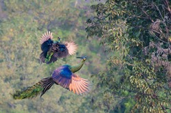 The male peacock and the female are flying up to eat fruit on the tree.
