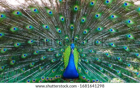 The male peacock show his feathers to the femal peacock in the zoo Сток-фото ©